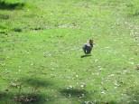 La liebre haciendo lo que mejor hace... saltar!