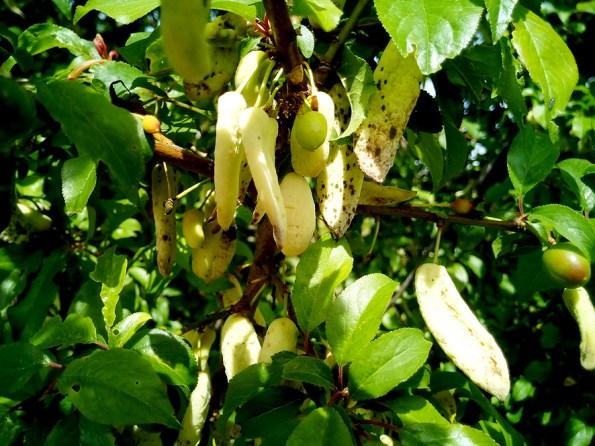 Taphrina pruni hongo ciruelos