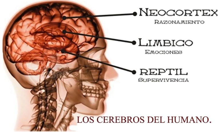 Tres cerebros en constante relación simbiotica ¿Se pueden controlar individualmente o participan siempre en grupo?