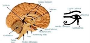 Comparativa cerebral con el símbolo egipcio y el Ojo de Horus.