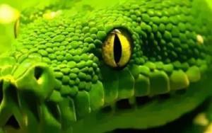 La mamba verde.