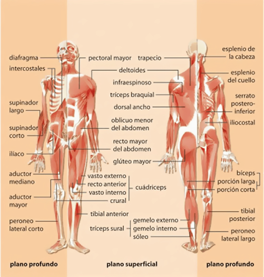 Músculos que pueden salir enfermados