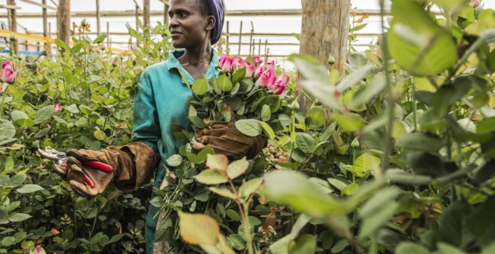 Etiopia, olanda, fiori, agricoltura, floricoltura, export, esportazioni, lavoro, iscos, ong, sviluppo, sfruttamento, serre, crescita, investimenti, economia, donne, empowerment