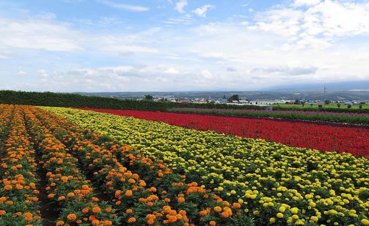 Etiopia, olanda, fiori, agricoltura, floricoltura, export, esportazioni, lavoro, iscos, ong, sviluppo, sfruttamento, serre, crescita, investimenti, economia,
