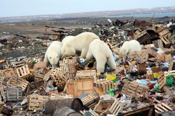 polarbear-eat-garbage.jpg