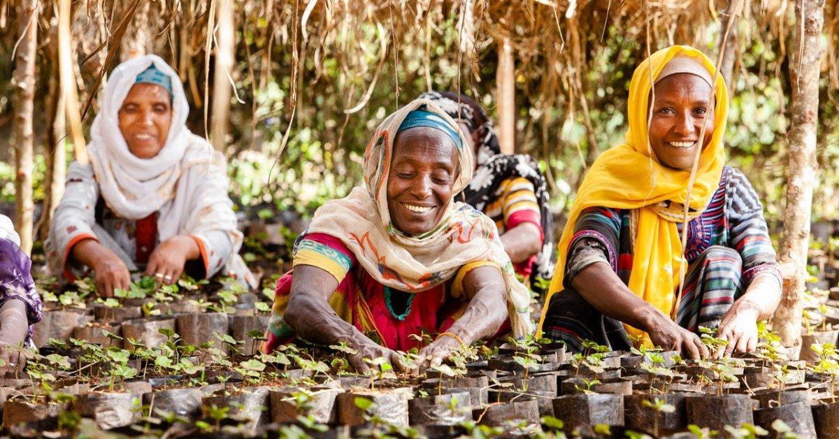 Coltivazione di caffè in Etiopia