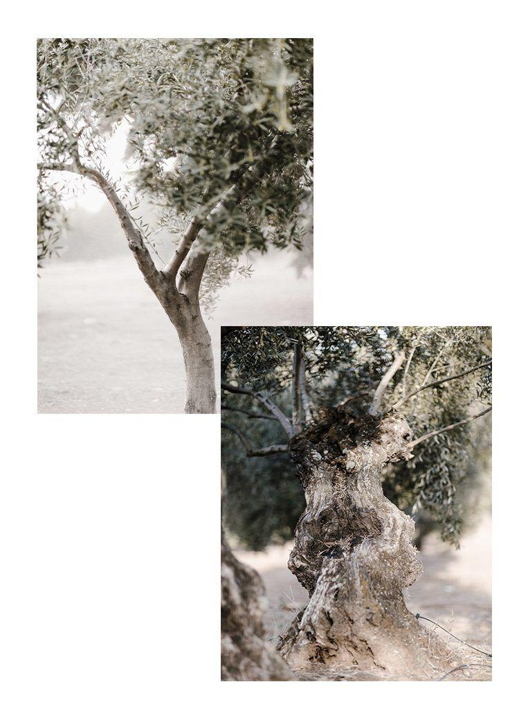 olivar 1