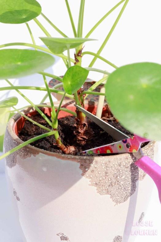 lossebloemen Pilea peperomioides stekken pannenkoekplant