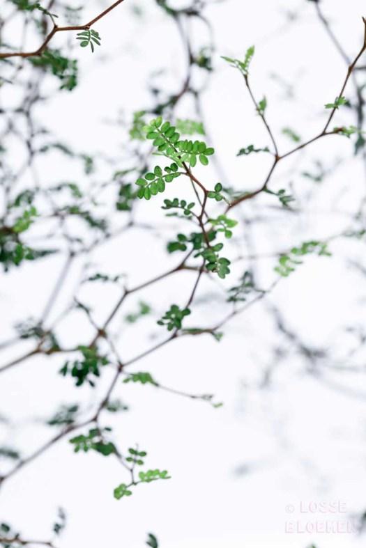 sophora bonsai lossebloemen