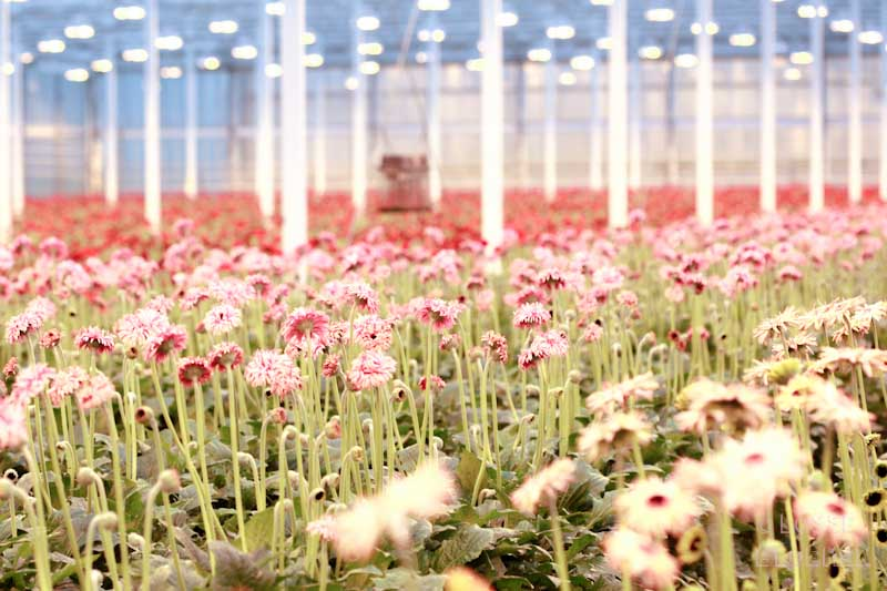 lgflowers lossebloemen.nl choicygerbera
