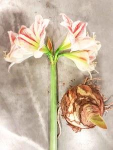 Amaryllis op lossebloemen.nl free printable amaryllis losse bloemen