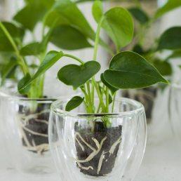 anthurium plant hydroponie trend losse bloemen bloemenblog plant zonder aarde laten groeien mooiwatplantendoen