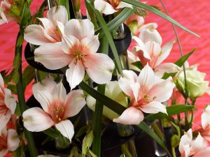 incalelie-alstroemeria-6-blaadjes-beeld-mooiwatbloemendoen.nl-kerst-roze-losse-bloemen-blog