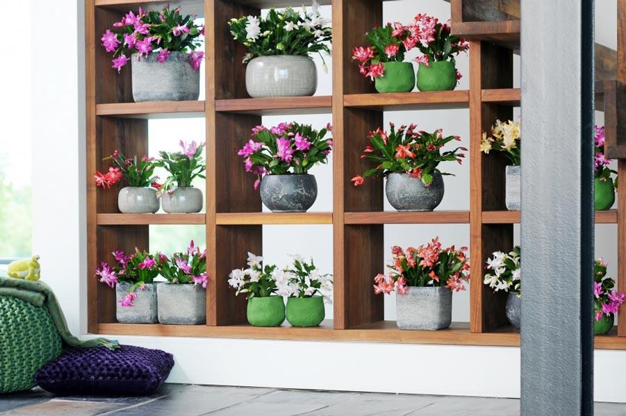 lossebloemen-bloglidcactus-Schlumbergera-kerstcactus-beeldmooiwatplantendoen
