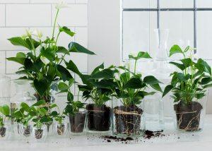 mooiwatplanten-doen-anthurium-trend-hydroponie-planten