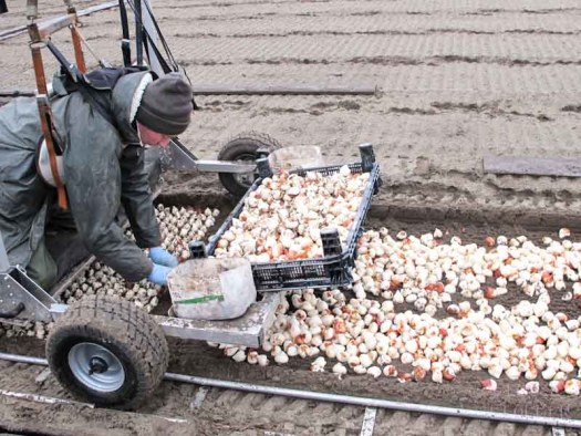 grondtulpen van bearflowers losse bloemen lossebloemen.nl tulpen veld Dutch tulips tulipa tulpenbollen hoe