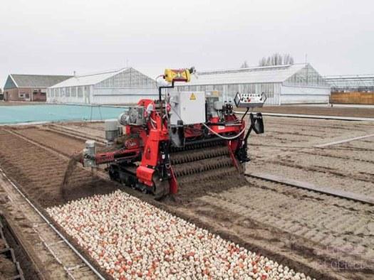 machine tulpen bearflowers losse bloemen lossebloemen.nl tulpen veld Dutch tulips tulipa tulpenbollen hoe