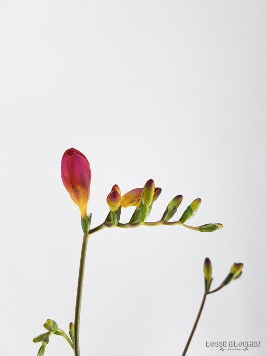 Elle bloemen losse bloemen blog Freesia of fresia - eucharis