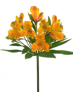 Oranje koningsdagbloemen foto- mooiwatbloemendoen.nl op losse bloemen blog Alstroemeria