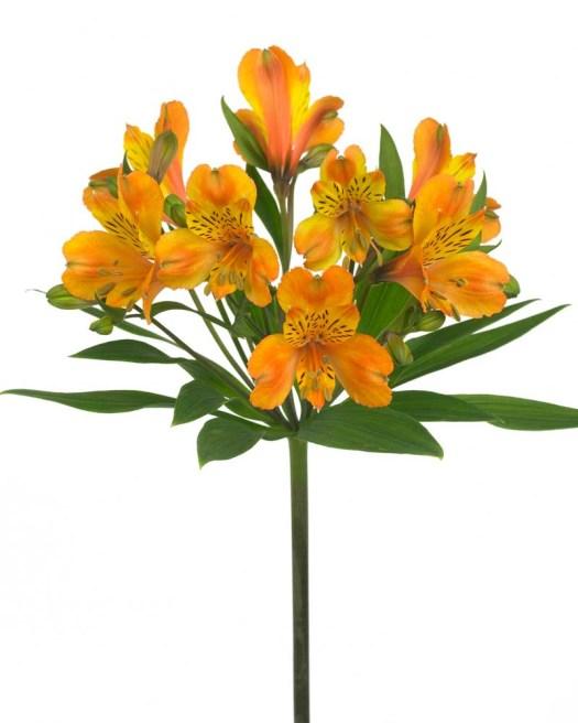Oranje koningsdag bloemen foto- mooiwatbloemendoen.nl op losse bloemen blog Alstroemeria
