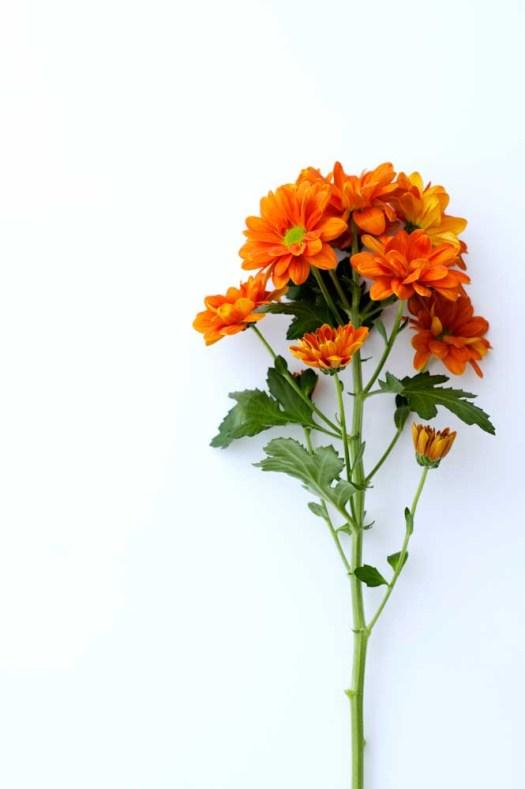 Oranje koningsdagbloemen foto- mooiwatbloemendoen.nl op losse bloemen blog Chrysant