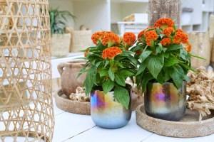 Oranje koningsdagbloemen foto- mooiwatbloemendoen.nl op losse bloemen blog Celosia