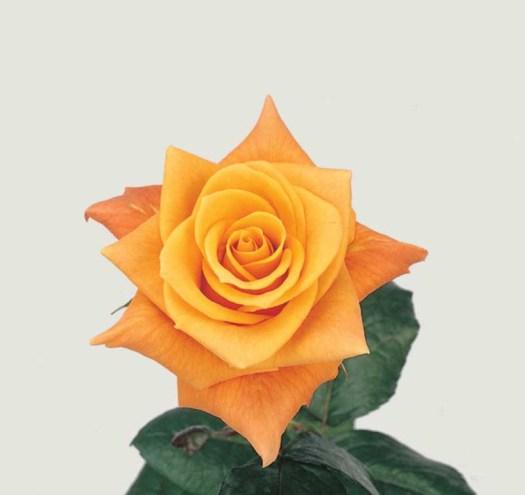 Oranje koningsdagbloemen foto- mooiwatbloemendoen.nl op losse bloemen blog Roos