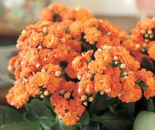 Oranje koningsdagbloemen foto- mooiwatbloemendoen.nl op losse bloemen blog Kalanchoe