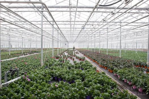 Dahlia monstera fatsia plantenkwekerij jkplant Lossebloemen.nl