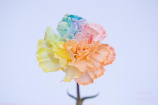 gekleurde bloemen blog happycolorsbv bloemenfoto's Chelan Bakker - Lossebloemen.nl bloemenblog chrysant