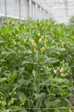 losse bloemen together2grow Alstroemeria florinca decorum hilverdakooij binnenkijker in de kas lossebloemen.nl