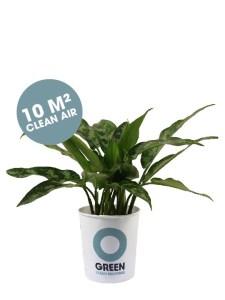 Aglaonema Maria Ogreen luchtzuiverende plant