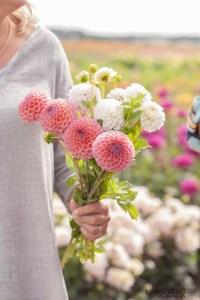Famflowerfarm dahlia velden - foto's - lossebloemen-
