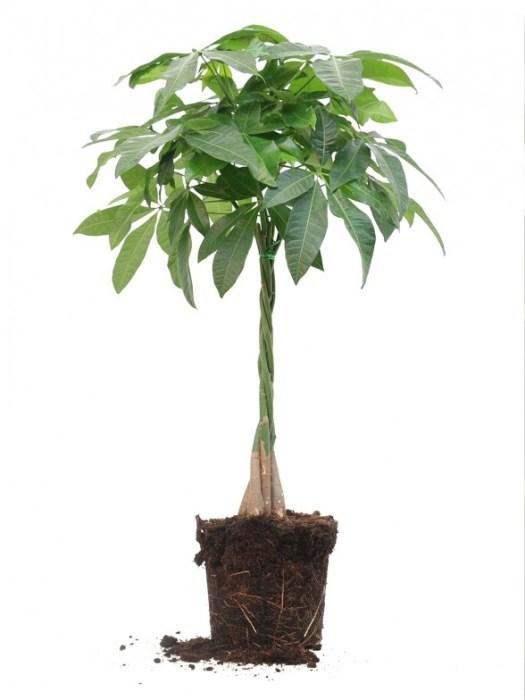 Met zijn gevlochten stam is de Pachira aquatica een echte eyecatcher en je bent deze plant dus vast wel eens eerder tegengekomen. Hij wordt ook wel Geldboom genoemd en staat voor geluk en voorspoed: het perfecte cadeau voor bijvoorbeeld een housewarming. Niet alleen vanwege de symboliek, maar ook omdat het boompje supermakkelijk te verzorgen is. Dus je kan hem natuurlijk ook gewoon zelf houden!