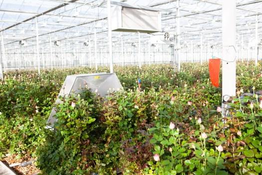 Van den berg RoseS - binnenkijker lossebloemen.nl Rozen kwekerij Avalanche