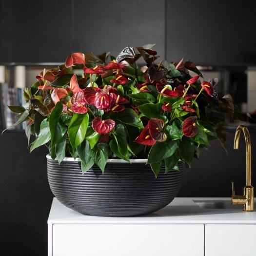 Anthurium flamingobloem kleurrijk arrangement beeld: mooiwatplantendoen.nl