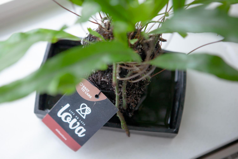 LOVA life on lava trendy plantje die groeit op een lavasteen - losse bloemen blog