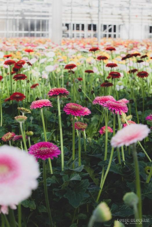 Florist Holland bv blog lossebloemen- binnenkijker bij veredelings- en vermeerderingsbedrijf van gerbera snijbloemen en potplanten