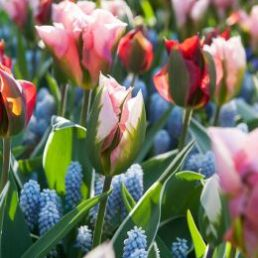 Mix nu bloembollen voor kleur in het voorjaar bollen