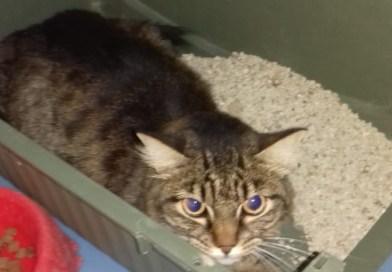 Trovata una gatta tigrata in viale dei Pini