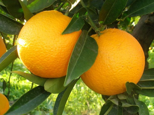 Riberella l'arancia bella…e buona