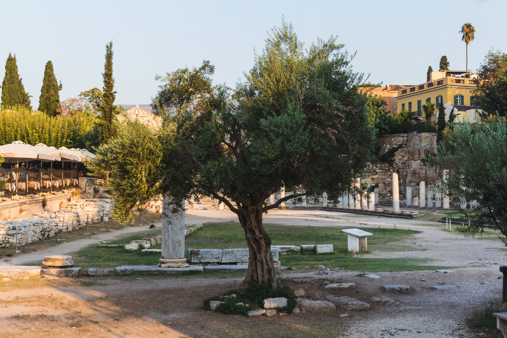 Photo of an old olive tree in ancient ruins in Athens, Greece