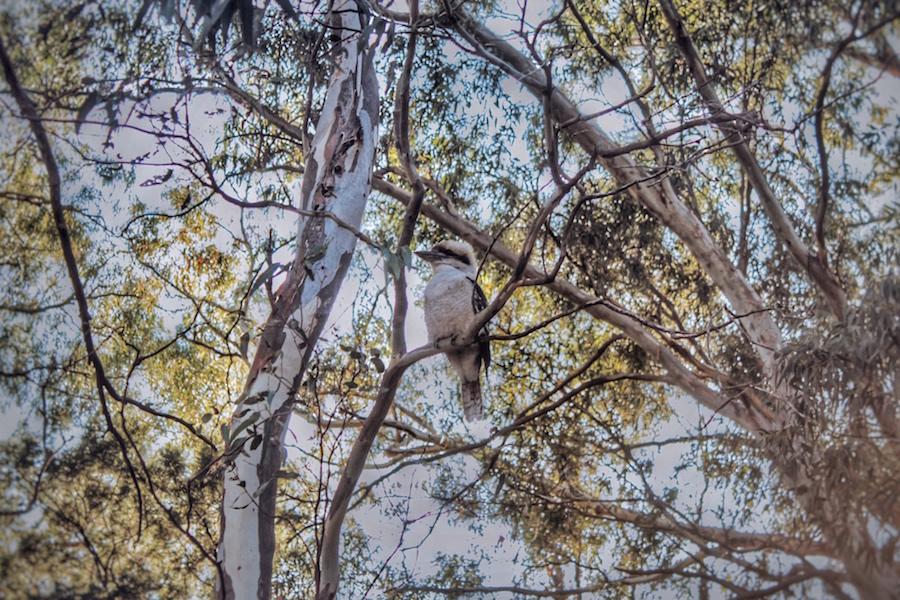 kookaburra-grampians