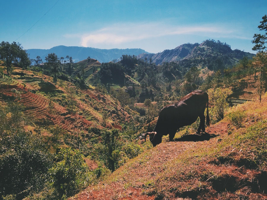 In Furcy Haiti, a photo of a bull grazing on grass in a valley overlooking distant mountains.