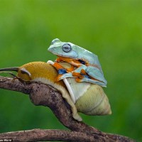 Lazy Frog Hitches a Free Ride on a Snail's Back