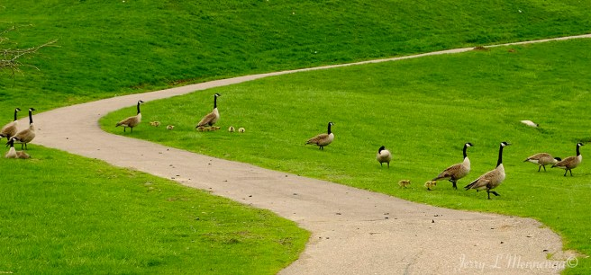 Families of geese out for a social at Bacon Creek Park in Sioux City, Iowa Friday, April 28, 2017. (Photo by Jerry L Mennenga©)