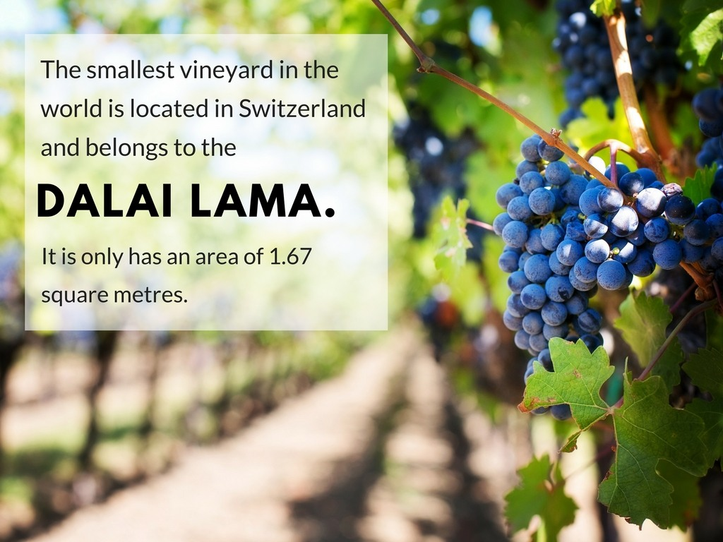 The smallest vineyard in the world is located in Switzerland and belongs to the Dalai Lama. It is only has an area of 1.67 square metres.