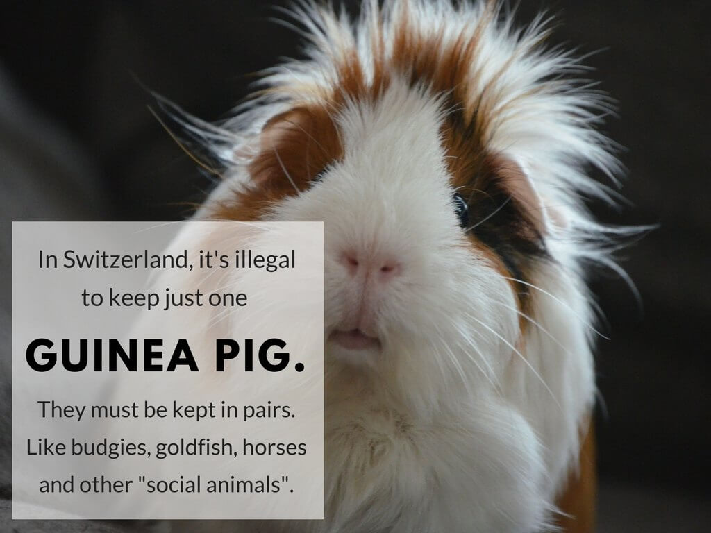 """In Switzerland, it's illegal to keep just one guinea pig. They must be kept in pairs. Like budgies, goldfish, horses and other """"social animals""""."""