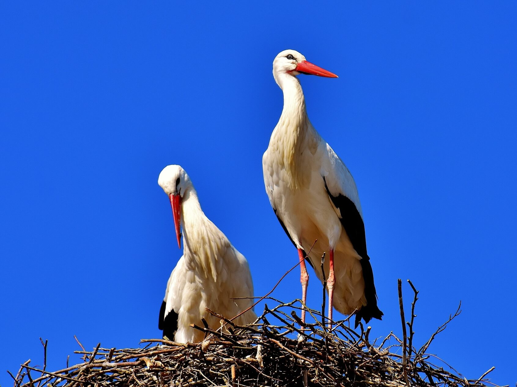 Storks in Altreu