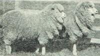 lost katanning sheep sale history